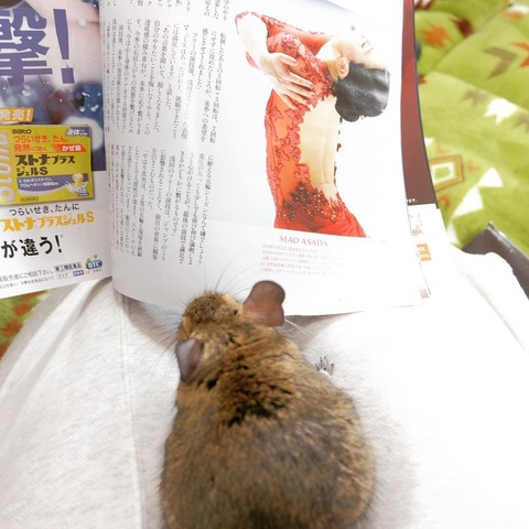 浅田真央ちゃんが掲載されている雑誌を見るデグーマウスが可愛い