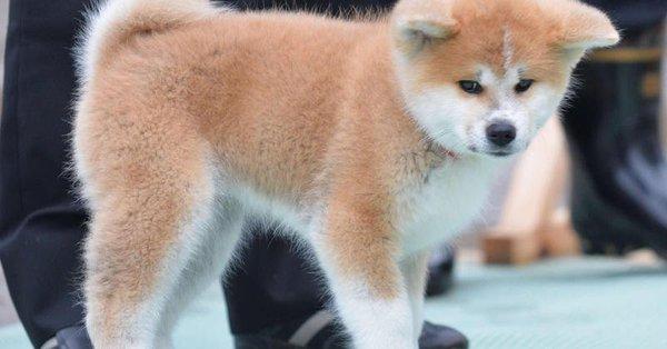 ザギトワの秋田犬「MASARU」はまさに「秋田美人」と絶賛の声