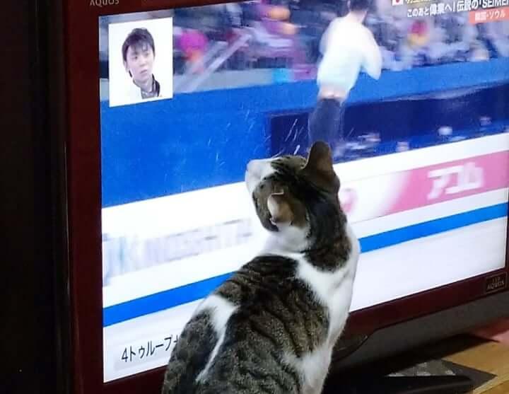 猫って フィギュアスケート 見るのが好きなのだろうか?  …それともワイプの 羽生結弦 見るのが…