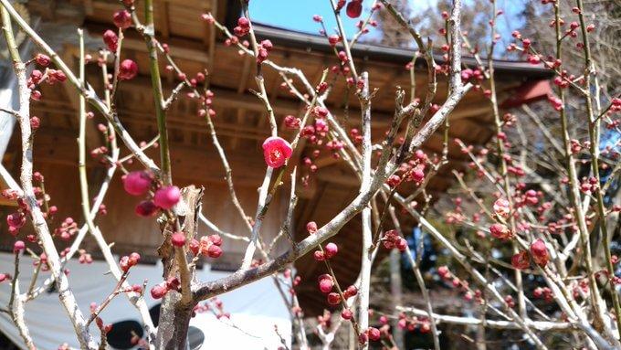 羽生天神社がメッセージ!  …今朝、雪がチラチラ舞い降り、肌寒い中、ふっくらした紅梅の蕾が一輪、咲き始めました。…