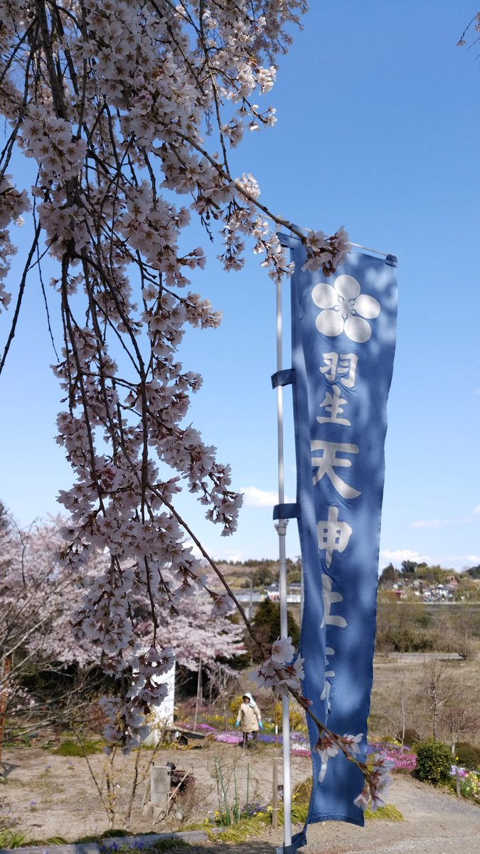 羽生天神社、境内の満開のしだれ桜を公開!  …私事のマルくんとプーさんとのツーショットにたくさんのいいねをありがとうございました。…