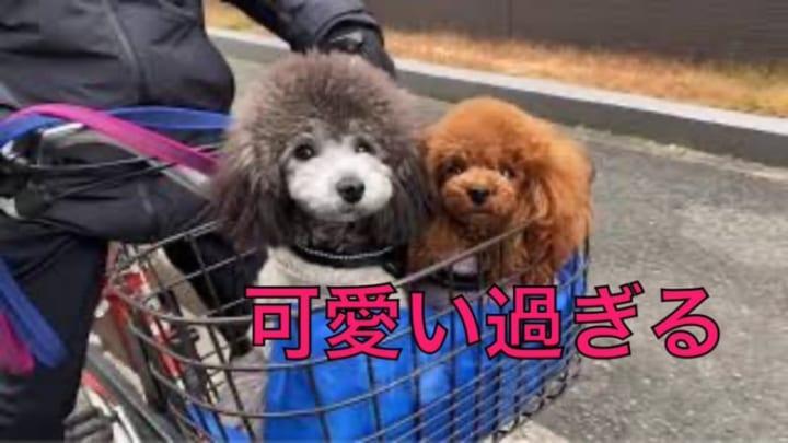 近くに買い物に行く自転車好きなトロとEmmaが可愛い過ぎる!